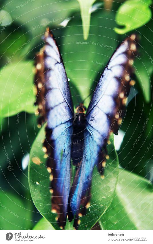 blau auf grün zum 1. Natur Pflanze Tier Frühling Sommer Schönes Wetter Baum Blatt Garten Park Wiese Wildtier Schmetterling Flügel blauer morphofalter beobachten