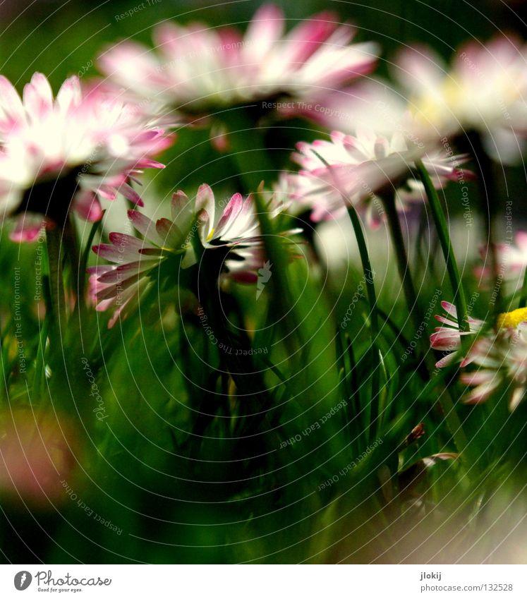 Früüüüühling IV Gänseblümchen Blume Pflanze Wiese grün Frühling Sommer Blüte Gras Unschärfe weiß Hintergrundbild Natur lieblich zart weich Froschperspektive