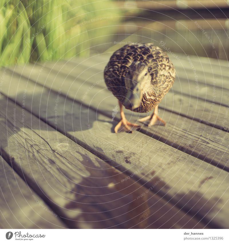 run.107 Natur Tier Wildtier Vogel Ente Schwimmen & Baden laufen Aggression gefährlich Stress Angst Konflikt & Streit Angriff angriffslustig Farbfoto Nahaufnahme