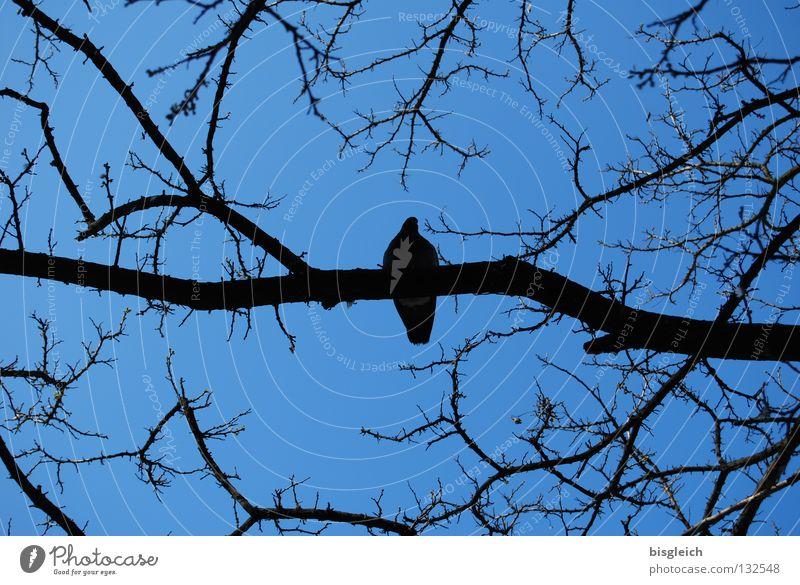 Ruhepol Farbfoto Außenaufnahme Menschenleer Abend Kontrast Froschperspektive ruhig Himmel Baum Tier Vogel Taube 1 blau pigeon birds quiet silence Ast Zweig