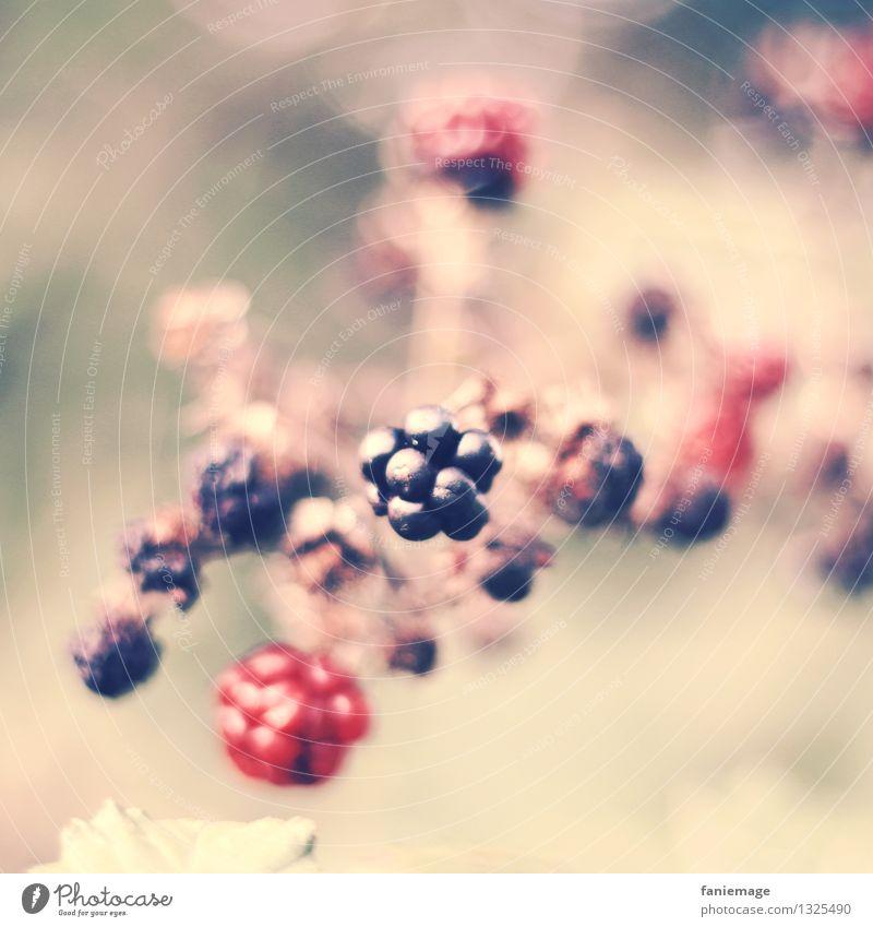Beerentraum Natur Sommer Herbst Sträucher lecker Brombeerbusch Brombeeren Frucht Gesundheit Gesunde Ernährung rosa traumhaft Mitte Zweig Zweige u. Äste