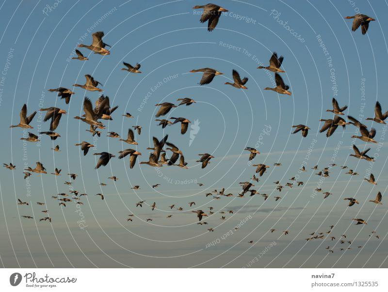Massenstart Umwelt Natur Himmel Tier Nutztier Wildtier Gans Tiergruppe fliegen Unendlichkeit blau Tierliebe Heimweh Fernweh Flugangst Abenteuer Freiheit Team