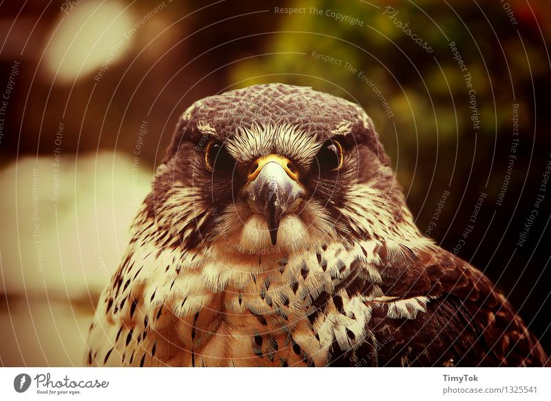 Im Auge des Jägers Natur Tier Wildtier Vogel Tiergesicht Habichtauge Habichte 1 selbstbewußt Kraft Mut mehrfarbig Außenaufnahme Menschenleer Tag Dämmerung