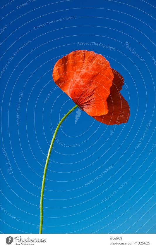 Mohnblume Sommer Landwirtschaft Forstwirtschaft Natur Landschaft Pflanze Wolkenloser Himmel Blume Blüte Wiese Feld leuchten blau rot Farbe heiter sonnig