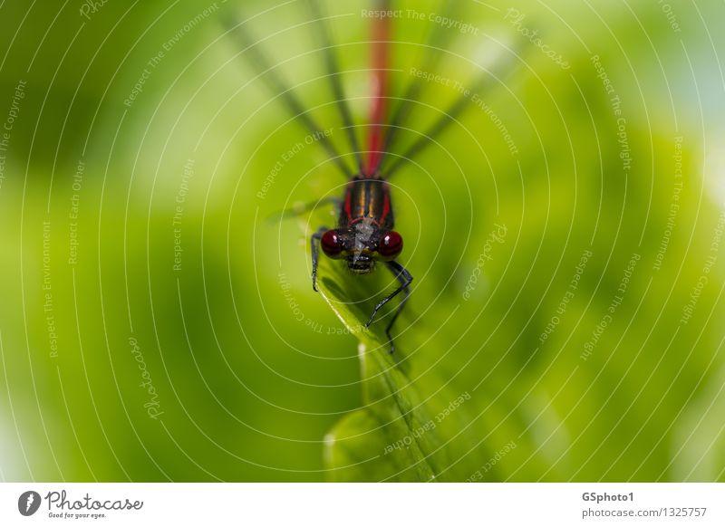 Auf der Lauer Sommer Pflanze Blatt Tier Wildtier Tiergesicht Libelle Insekt 1 Blick sitzen Aggression gold grün rot Jäger Facettenauge Gesicht goldene Linien