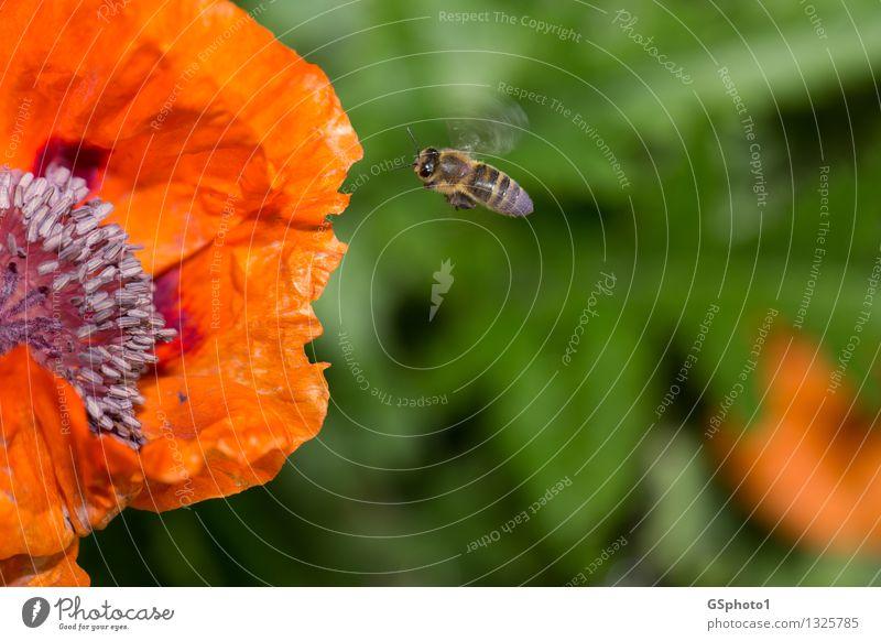 Fliegende Biene Natur Sommer Schönes Wetter Pflanze Blume Blüte Mohnblüte Tier Flügel 1 Arbeit & Erwerbstätigkeit fliegen grün violett rot bestäuben Pollen