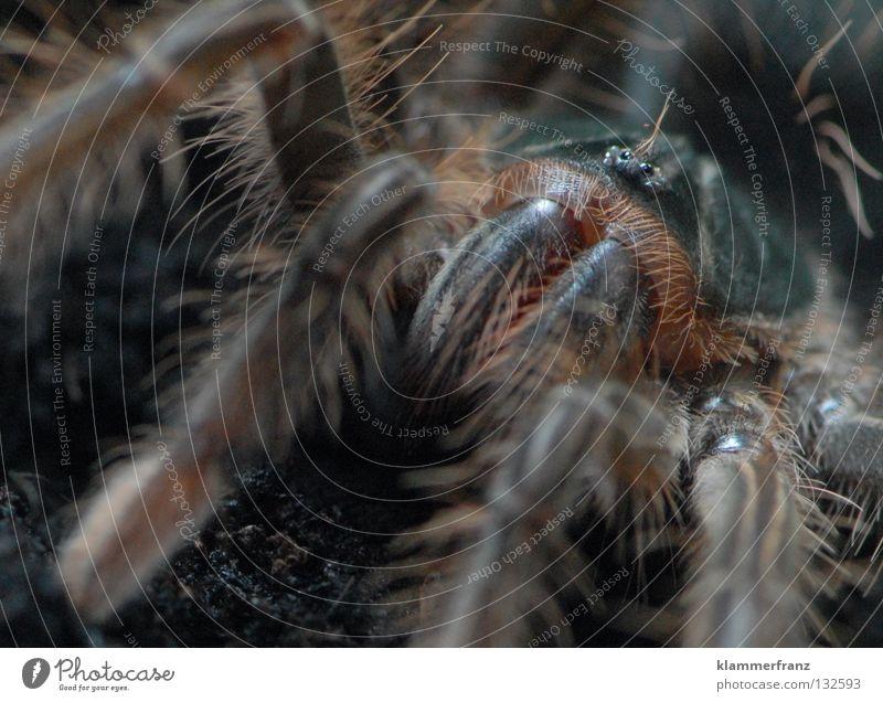 iiiiiiiiiiiiiiiiiiiiiiiiiiih Spinne Bildausschnitt Monster Spinnenbeine Vogelspinne