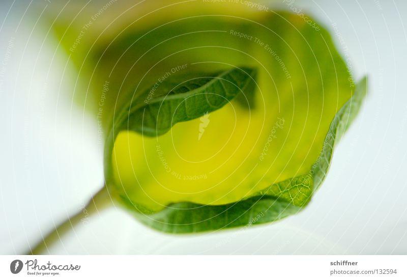 Weiches Blatt II grün Pflanze weich trocken Gefäße Rutsche Blattadern Zimmerpflanze gerollt Weichspüler