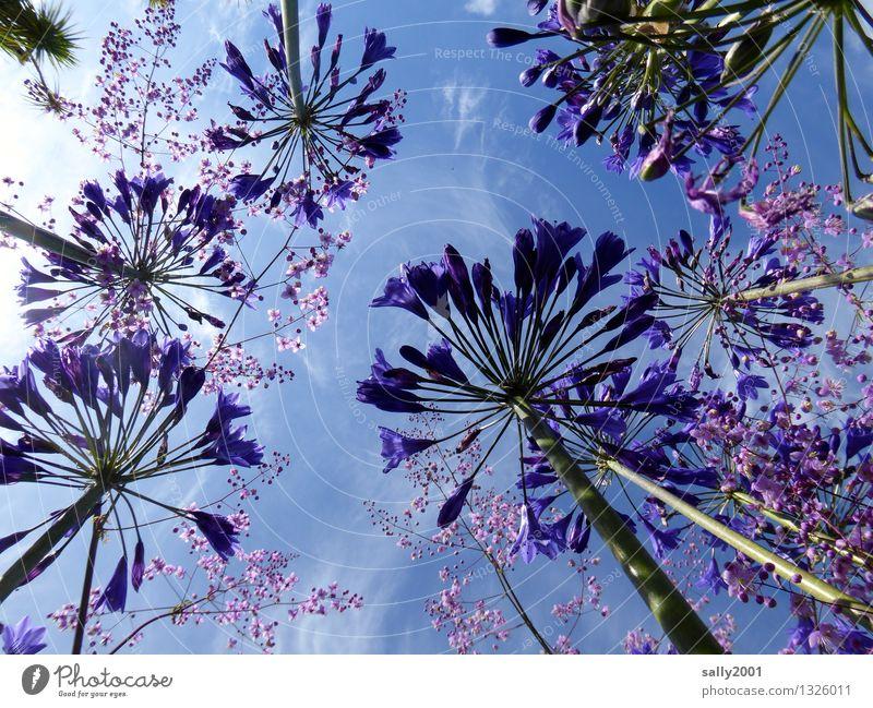 blau... Pflanze Himmel Sommer Schönes Wetter Blume agapanthus schmucklilie leuchten Wachstum ästhetisch groß oben violett Blühend Blüte aufwärts himmelwärts