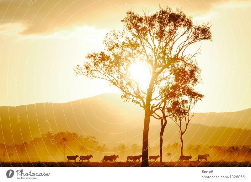 Muh Fleisch Milcherzeugnisse Rindfleisch Landwirtschaft Forstwirtschaft Natur Landschaft Sonnenaufgang Sonnenuntergang Sonnenlicht Baum Hügel Weide Australien