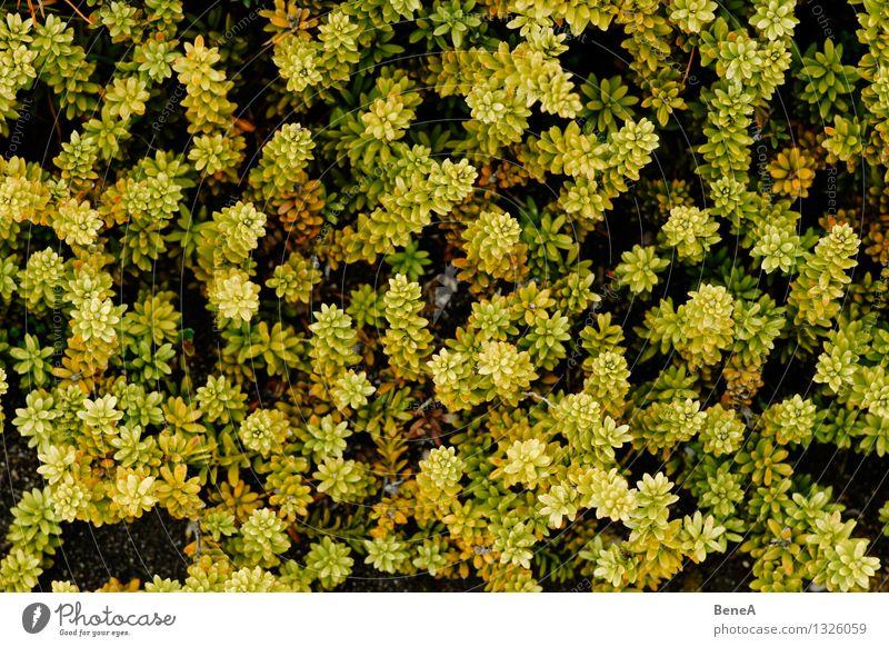 Naturmuster Umwelt Landschaft Pflanze Blume Gras Sträucher Moos Farn Blatt Blüte Grünpflanze Wildpflanze exotisch natürlich schön gelb grün Vergänglichkeit