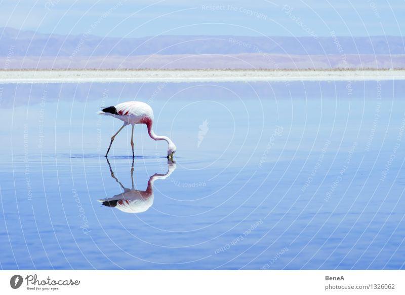 Flamenco Umwelt Natur Landschaft Tier Wasser Himmel Wolkenloser Himmel Seeufer Salzsee Wüste Oase Anden Chile Argentinien Menschenleer Wildtier Vogel Flamingo 1