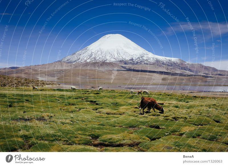 Lauca Umwelt Natur Landschaft Pflanze Tier Wasser Himmel Wolkenloser Himmel Schönes Wetter Gras Moos Grünpflanze Wildpflanze Berge u. Gebirge Anden Vulkan