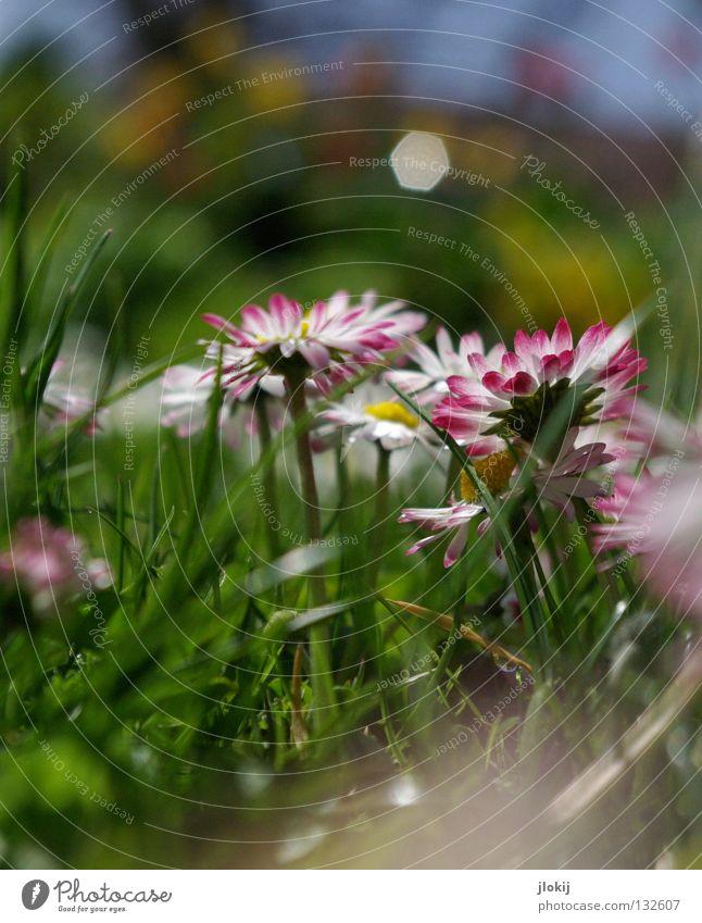 Gänsebliemsch'n Gänseblümchen Blume Pflanze Wiese grün Frühling Sommer Blüte Gras Unschärfe weiß Hintergrundbild Natur lieblich zart weich Froschperspektive