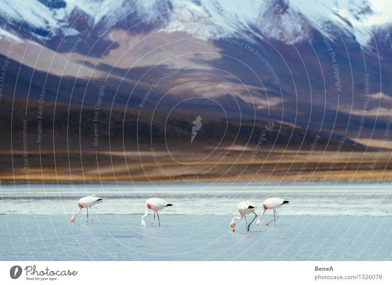 Flamencos Natur Wasser Einsamkeit Landschaft Tier Ferne Berge u. Gebirge Umwelt natürlich Essen See Vogel Sand wild Eis Wildtier