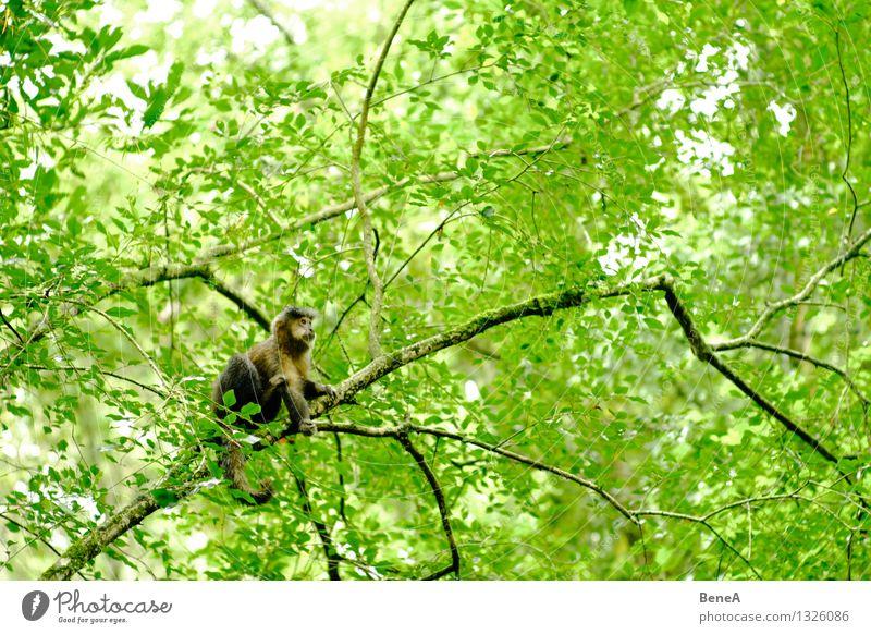Affe Natur Pflanze Baum Tier Wald Umwelt wild Wildtier sitzen warten Ast beobachten exotisch Tiergesicht Urwald Wildnis