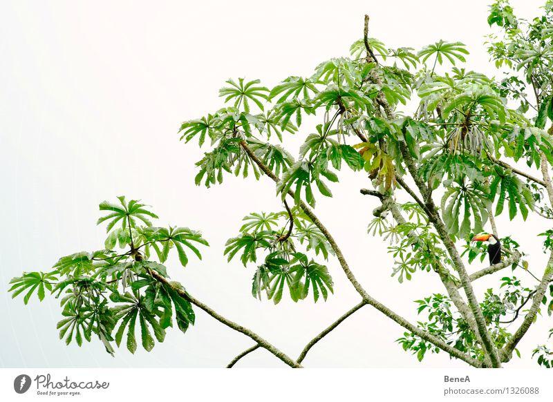 Tukan Umwelt Natur Pflanze Tier Baum Blatt Grünpflanze Wildpflanze exotisch Wald Urwald Südamerika Vogel Tukane Specht 1 beobachten Blick sitzen warten