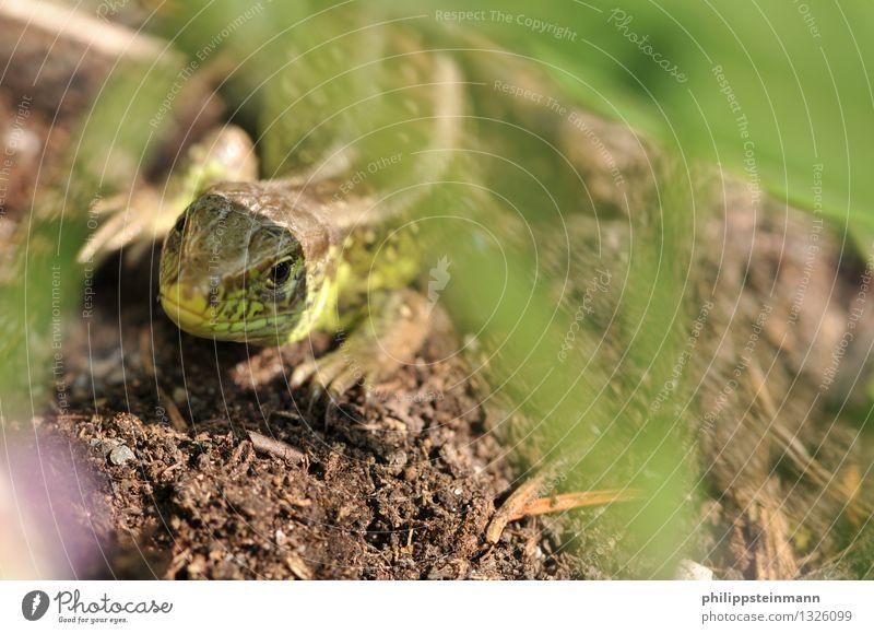 Eidechse im Garten Natur Tier Erde Wiese Wildtier Reptilien Echte Eidechsen 1 braun grün Farbfoto Außenaufnahme Tag Schwache Tiefenschärfe Tierporträt