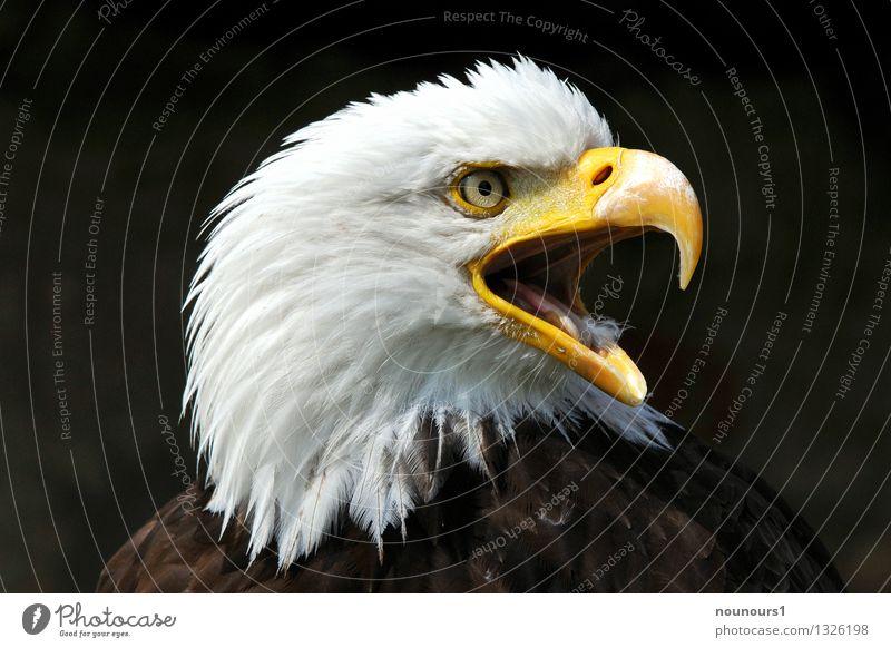 Der Schrei Tier Wildtier Vogel Schreiseeadler 1 schreien adlerauge gefieder greifvogel raubvogel schnabel stechend Farbfoto Außenaufnahme Detailaufnahme Tag