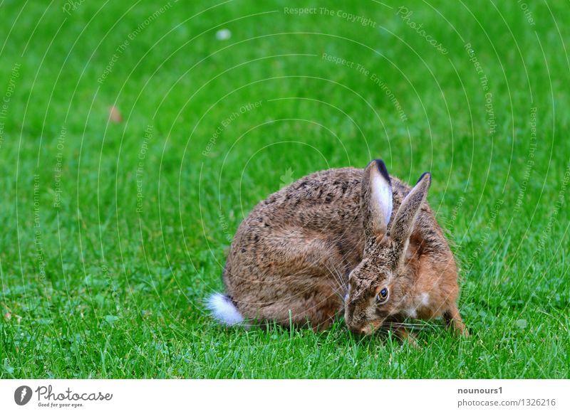 Feldhase Tier Wildtier Fell Hase & Kaninchen 1 Fressen sitzen nagetier aussterben bedrohlich gras hoppeln löffel niederwild Farbfoto Außenaufnahme