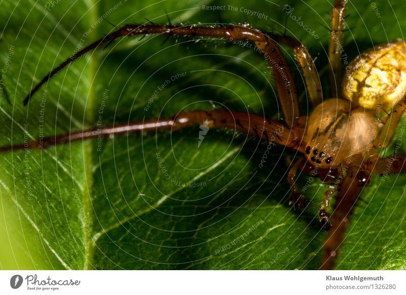 Hungry eyes Natur Pflanze grün Sommer Blatt Tier schwarz Umwelt gelb Herbst braun sitzen warten gruselig Spinne