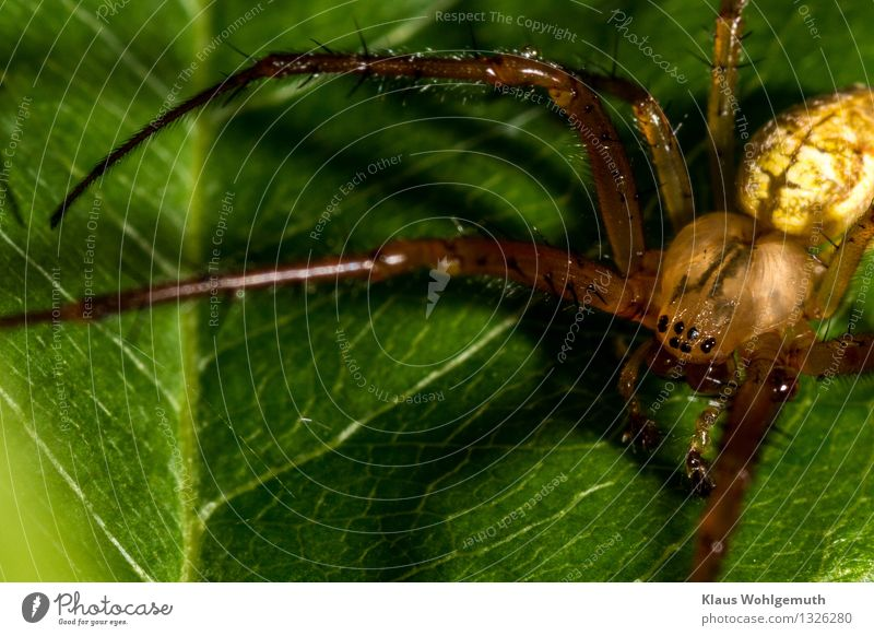 Hungry eyes Umwelt Natur Tier Sommer Herbst Pflanze Blatt Spinne 1 sitzen warten gruselig braun gelb grün schwarz Farbfoto Außenaufnahme Nahaufnahme