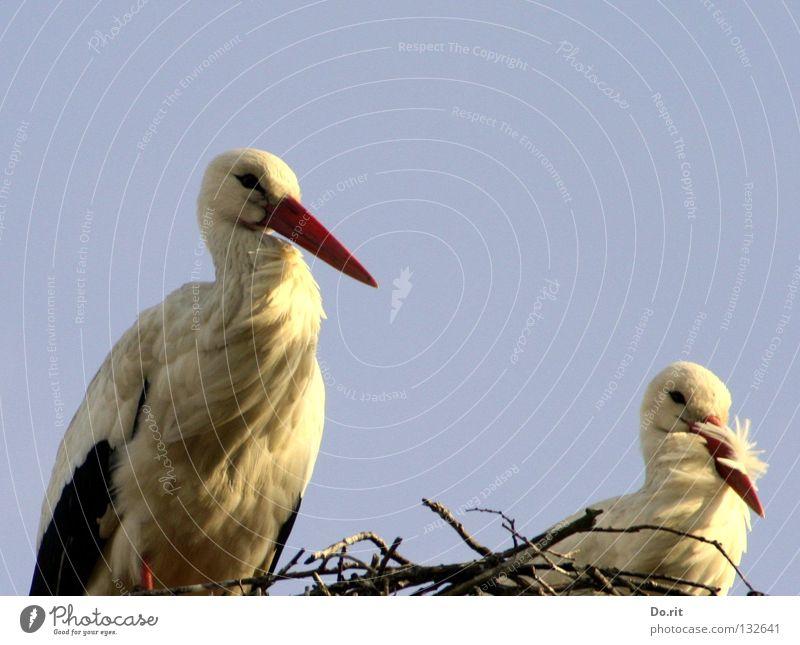 Alle Vögel sind schon da Storch Weißstorch Nest Wohnung Blauer Himmel Federvieh Vogel Sträucher Schnabel Geburt Liebe Frühling Hausstorch Schreitvogel Adebar