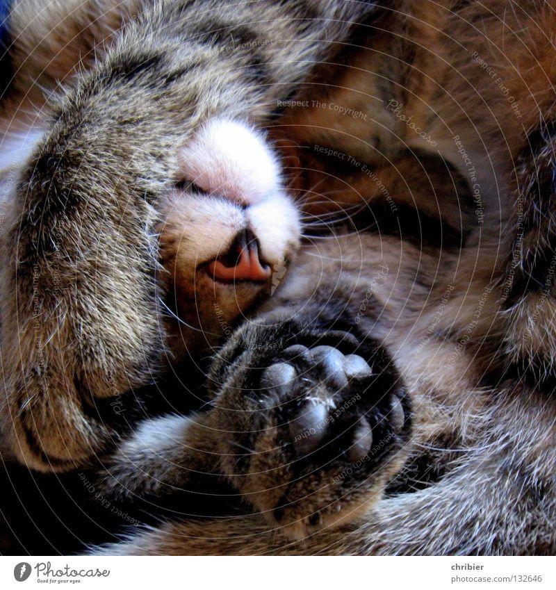 Immer diese blöde Presse... Erholung ruhig Jagd Fell Katze Pfote schlafen träumen Pause Schnurren Geschnarche Hauskatze Nase Landraubtier Samt Katzenpfote