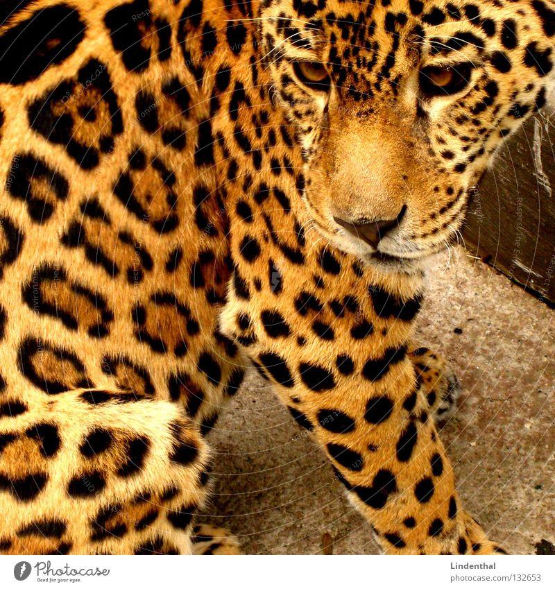 Wohl ein Leopard Fell Katze Muster Tier schön Säugetier sitzen Tiergesicht Tierporträt Anschnitt Bildausschnitt Nahaufnahme Schnauze