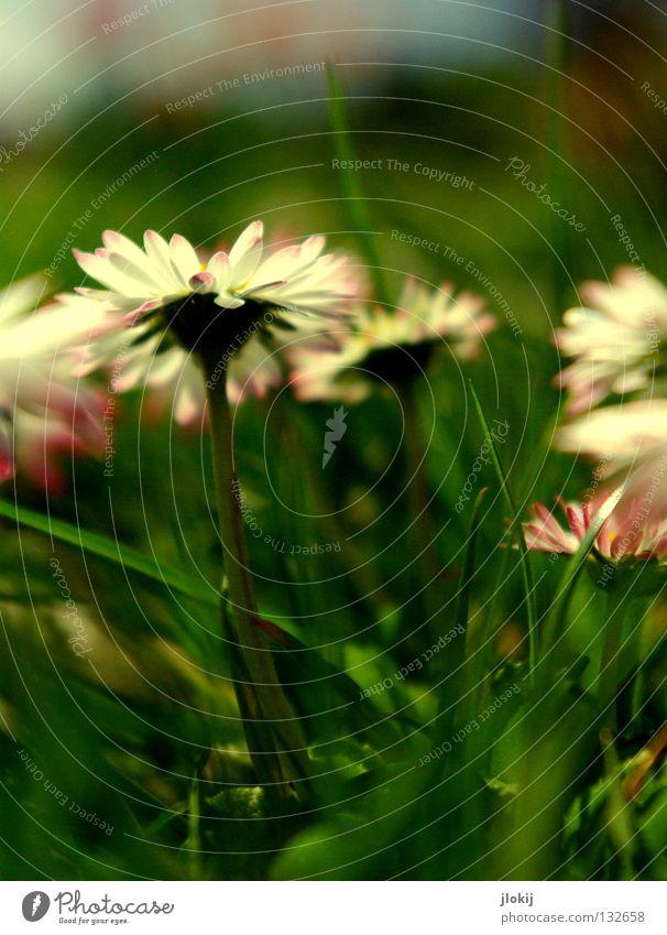 Frühlingsboten Natur schön Himmel weiß Blume grün blau Pflanze Sommer Freude Lampe Wiese Blüte Gras Bewegung Frühling