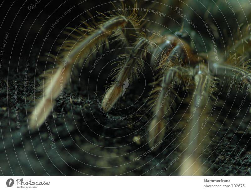 waiting for mr. grasshopper Bildausschnitt Detailaufnahme Riesenvogelspinne Makroaufnahme Vogelspinne Theraphosa Monster Spinnenbeine Erde Terrarium