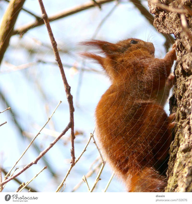 Schwanz ab ! Baum Wald Ernährung Haare & Frisuren Frühling braun hoch Behaarung süß Ohr niedlich Klettern Ast Fell Horn Pfote