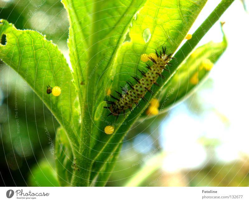 Metamorphose - vom Ei, zur Raupe, zum Schmetterling Pflanze Blatt Fressen Garten der Schmetterlinge Zoo ausrutschen Loch Puppe verpuppt Tier grün Makroaufnahme