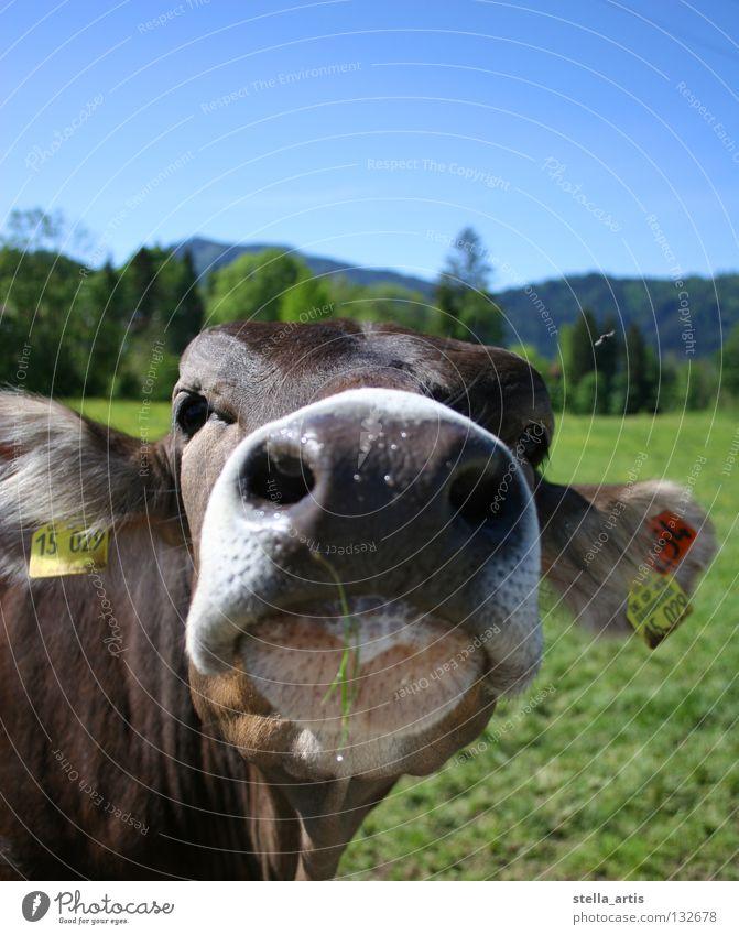 gummischnauze Kuh grün Schnauze Allgäu wandern Erholung Wiese Halm Neugier Landwirtschaft Vieh Bauernhof Sommer Säugetier blau Schönes Wetter Maul Weide