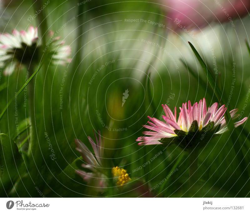 Blümlies Gänseblümchen Blume Pflanze Wiese grün Frühling Sommer Blüte Gras Unschärfe weiß Hintergrundbild Natur lieblich zart weich Froschperspektive klein