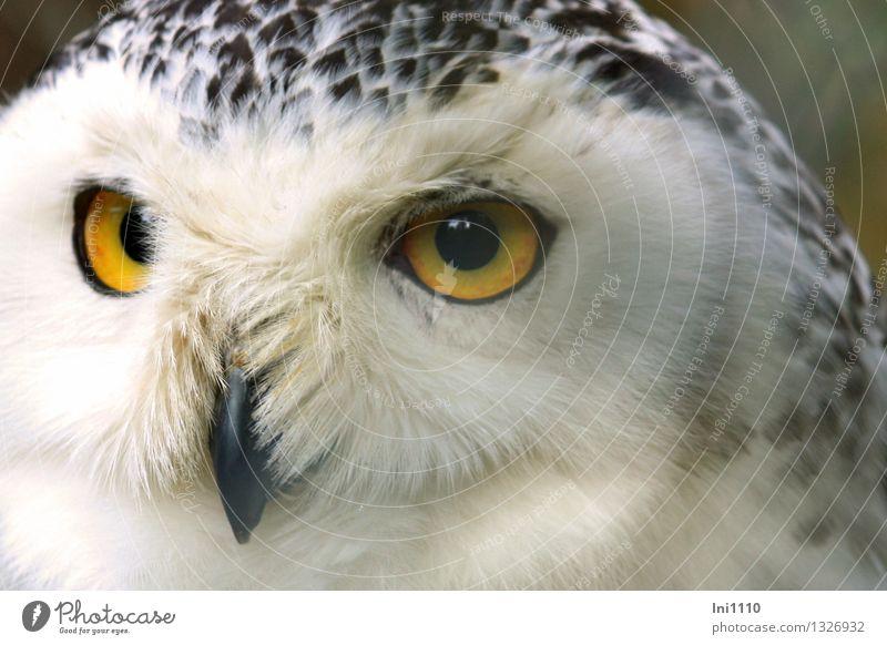 Schnee-Eule Natur Tier Park Wildtier Vogel Tiergesicht Zoo Bubo scandiacus 1 beobachten hocken Blick ästhetisch außergewöhnlich exotisch fantastisch groß schön