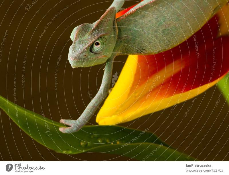 Chameleon on the tulip Natur gelb Echsen Reptil Chamäleon Lizard