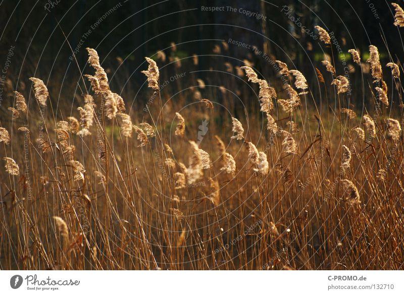 Gräser westwärts... Natur Winter Gras Frühling Wärme Küste gold Physik Schilfrohr