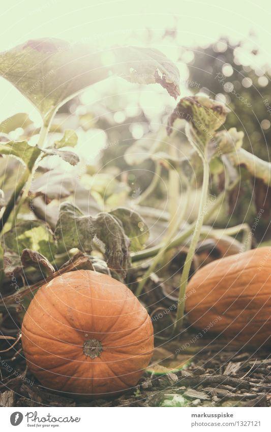 kürbis Lebensmittel Gemüse Kürbis Kürbiszeit Kürbisgewächse Kürbiskern Kürbisfeld Ernährung Bioprodukte Vegetarische Ernährung Diät Fasten elegant