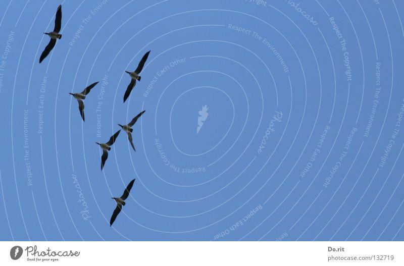 Freiheit blau Ferne Vogel Zusammensein fliegen mehrere Luftverkehr Flügel Vergänglichkeit Schönes Wetter Vertrauen Gesellschaft (Soziologie) Gans Blauer Himmel