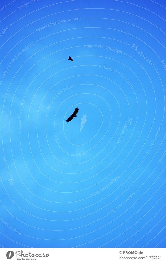 Noch kreisen sie... Adler Seeadler Greifvogel Vogel Wolken gleiten Schweben gefährlich Konzentration Opfer Jagd Himmel blau fliegen Tierpaar