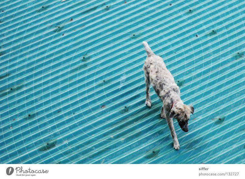 tschu tschu blau Sommer Ferien & Urlaub & Reisen Tier grau Hund Linie Dach Asien Kot türkis diagonal Schönes Wetter Säugetier Blech Wellblech