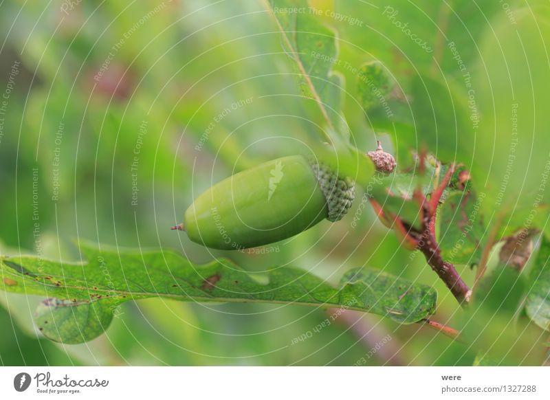 Eiche natur Natur Pflanze Baum Blatt Wald Frucht Umweltschutz Biotop Eicheln