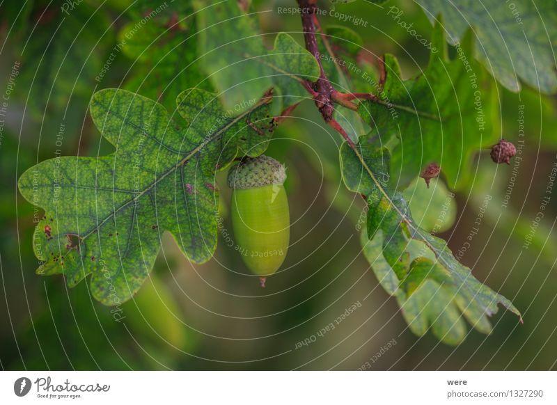 Eichel Frucht Natur Pflanze Baum Blatt Wald Umweltschutz Biotop Eicheln Eichelmännchen Jahreskreislauf leave tree Farbfoto Außenaufnahme Makroaufnahme
