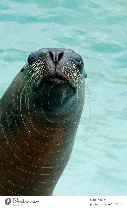 Grüezi Wasser Wildtier Tiergesicht Fell Zoo Freundlichkeit lustig türkis Säugetier Auge Zwinkern Schnurrhaar Nase Schwimmbad Maul nass tierisch Mähnenrobbe