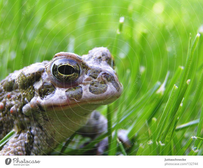 Für Froggy64 Natur grün Auge Gras See frei Europa Kommunizieren Langeweile Frosch Teich Umweltschutz Gewässer Lurch Biotop