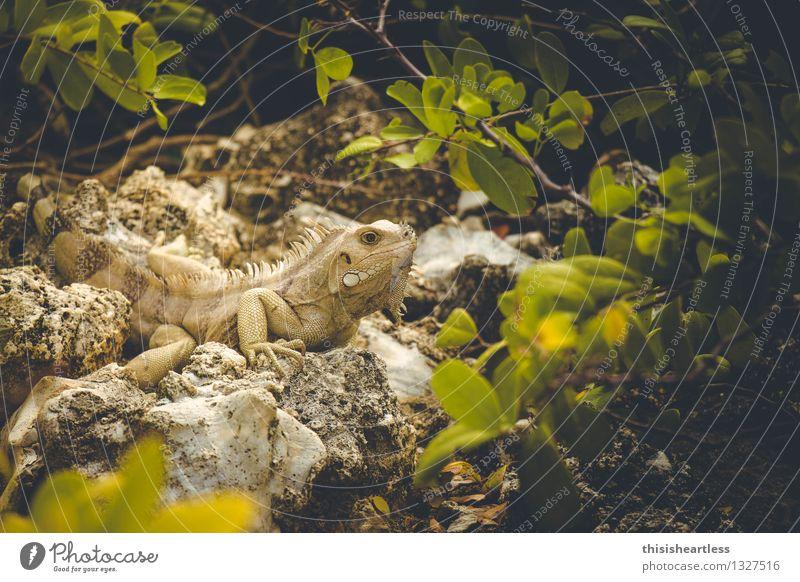 Es war einmal ein Urzeitviech... grün Tier gelb Stein Wildtier Haut beobachten bedrohlich Neugier nah Vertrauen dumm stachelig Reptil Hochmut Tierliebe