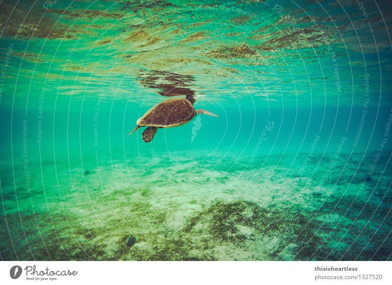 Luft holen... Wassersport Schwimmen & Baden tauchen Sommer Bucht Riff Meer Karibisches Meer Karibik Amerika Tier Wildtier Schildkröte Wasserschildkröte