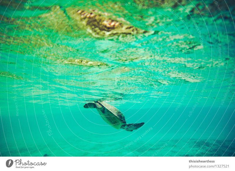... und wieder abtauchen! Schwimmen & Baden Tier Wasser Meer Karibisches Meer Karibik Amerika Wildtier Schildkröte Wasserschildkröte Schildkrötenpanzer