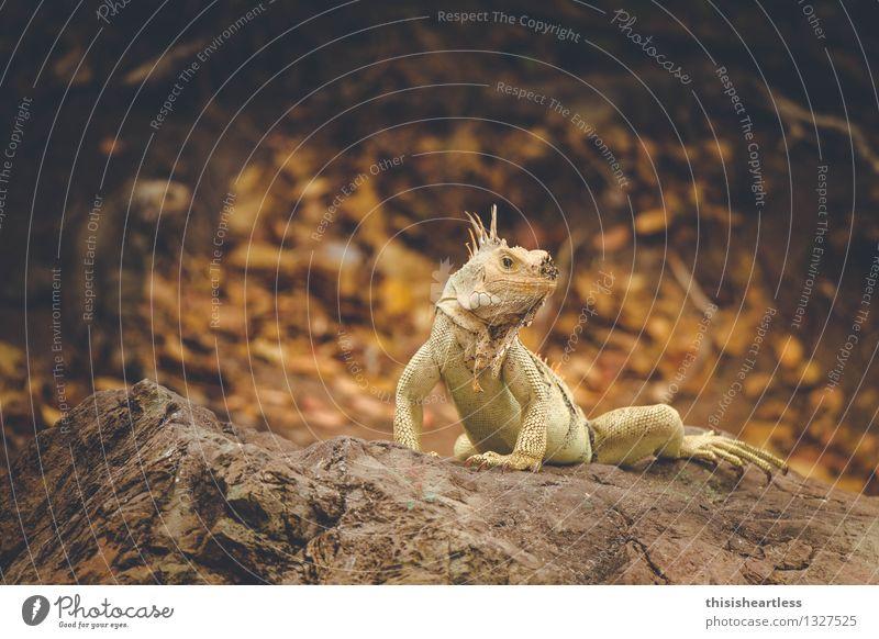 ...ich bin hier der Boss! Landschaft Tier Küste Bucht Insel Wildtier Schuppen Echsen Echte Eidechsen Reptil Leguane Agamen 2 Tierpaar Stein